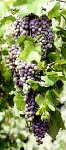 Pisco Quebranta Grapes